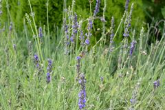 The Lavender Bush stock images