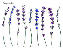 Lavender flowers, hand drawn doodle vector sketch isolated on white, herbal vintage graphic engraving collection Stock Images