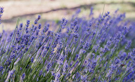 Lavender flowers. Healing lavender in Provence, France Stock Photography