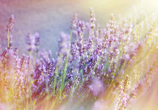 Lavender flowers illuminated with sunbeams Stock Photography