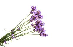 lavender flowers isolated Royalty Free Stock Photography