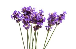 lavender flowers isolated Royalty Free Stock Photo