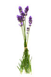 Lavender flowers isolated on white Royalty Free Stock Photos