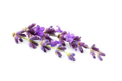 Lavender flowers isolated. Lavender flowers isolated on white background Stock Photo