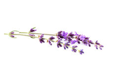Lavender flowers isolated. Lavender flowers isolated on white background Royalty Free Stock Images