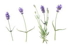 Lavender flowers isolated white background. Lavender flowers isolated on white background. Floral flat lay Stock Photography