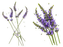 Lavender flowers isolated on white background Royalty Free Stock Photo