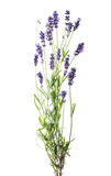 Lavender flowers isolated on white background Royalty Free Stock Image
