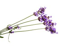 lavender flowers isolated Royalty Free Stock Images