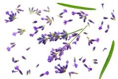 Lavender flowers isolated on white background. top view royalty free stock image