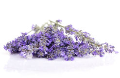Lavender Flowers Isolated on White with Reflection Royalty Free Stock Images