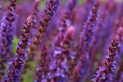 Lavender Flowers, beautiful close up showing the beauty of the plant. Lavender Flowers are known for their uses in the cosmetic and fragrence industry stock photography