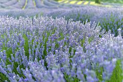 Lavender flowers in Kuyucak, Isparta of Turkey. Sunset over a summer purple lavender field. stock image