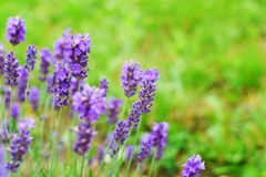 Lavender flowers in garden. Lavender flowers lavandula in garden on green blurred meadow grass background with copy space for text Stock Photo
