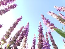 Lavender flowers. From a low angle and a blue sky in the background royalty free stock images