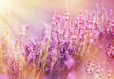 Lavender flowers lit by sun rays Royalty Free Stock Image