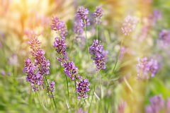 Lavender flowers lit by sunlight Royalty Free Stock Photography