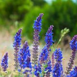 Lavender flowers macro Stock Image