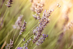 Lavender Flowers. Macro close-up. Color tone tuned.  stock image