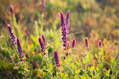 Lavender flowers in a meadow Royalty Free Stock Images