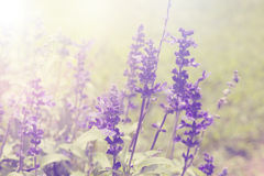 Lavender flowers Natural background Royalty Free Stock Photography