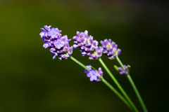 Lavender flowers outside with green background. Beautiful purple lavender flowers outside with green background Stock Images