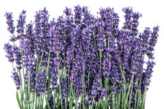 Lavender flowers over rustic metal background. Fresh blossoms Royalty Free Stock Images