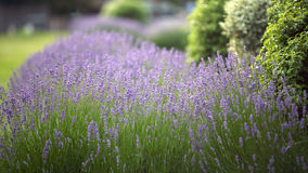 Lavender flowers photographed, field lilac. Lavender flowers in a park with the sun shining down (lavandula angustifolia Royalty Free Stock Photo
