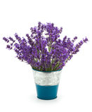 Lavender flowers. In a pot on white background Royalty Free Stock Image