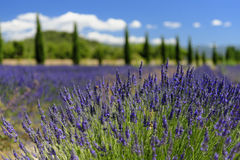 Lavender flowers in provence. Closeup of lavender flowers in the landscape of Provence, France Stock Images