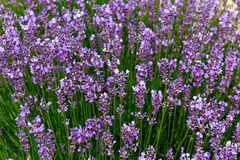 Lavender flowers in the Provence Stock Image