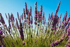 Lavender flowers. In Provence, France Stock Image