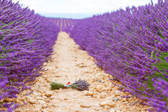 Lavender flowers in Provence, France. Famous, popular destination and place for tourists for making vacations in summer Royalty Free Stock Photography