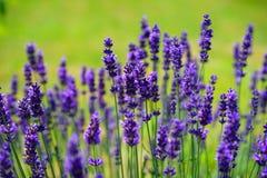 Lavender, Flowers, Purple Stock Photography