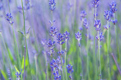 Lavender flowers with purple bokeh background. Selective focus Stock Image