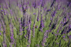 Lavender Flowers Royalty Free Stock Photography