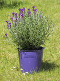 Lavender flowers in purple flowerpot on grass Stock Photography