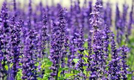 Lavender, Flowers, Purple Flowers Royalty Free Stock Images