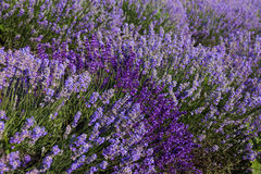 Lavender flowers. Purple lavender flowers in nature fields with sun stock image