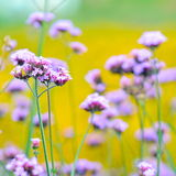 Lavender flowers. Purple lavender flowers in the yellow field Royalty Free Stock Photos