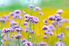 Lavender flowers. Purple lavender flowers in the yellow field Stock Photos