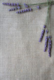 Lavender flowers on sackcloth background Stock Image