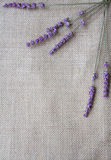 Lavender flowers on sackcloth background Stock Images