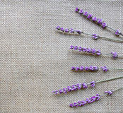 Lavender flowers on sackcloth background Royalty Free Stock Photography