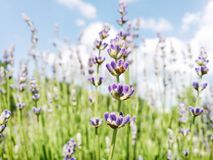 Lavender flowers, seasonal natural scene. Lavender flowers. Macro photo. Seasonal natural scene. Beauty in nature. Vibrant colors royalty free stock photography