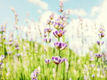 Lavender flowers, seasonal scene, beauty filter. Lavender flowers. Macro photo. Seasonal natural scene. Beauty in nature. Vibrant colors. Beauty photo filter stock photography
