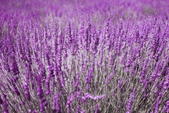 Lavender flowers selective focus background. Lavender flowers violet color closeup background. Beautiful view of sunny lavender flower field. Selective focus Royalty Free Stock Images