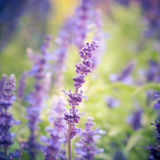 Lavender flowers with selective focus Stock Photo