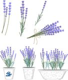 Lavender flowers. Set of lavender flowers and flower pots with lavender Royalty Free Stock Photos