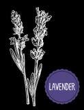 Lavender flowers sketch. Hand drawn engraving vintage illustration. Black and white color. Black background. Stock Photos